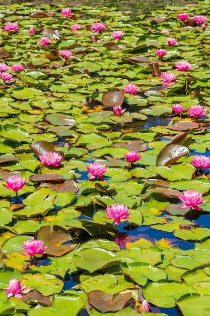 Vijver met prachtige roze heilige lotusbloemen en groene bladeren Gratis Foto