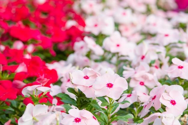 Vinca rosea bloemen bloeien in de tuin, gebladerte verscheidenheid van kleuren bloemen Premium Foto