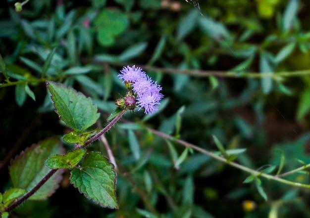 Violette bloem van touch me niet planten Premium Foto