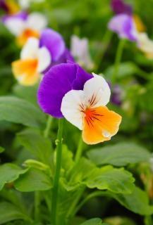Viooltje bloem Gratis Foto