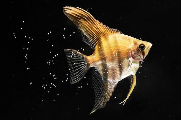 Vis van close-up de gele die betta door bellen wordt omringd Gratis Foto