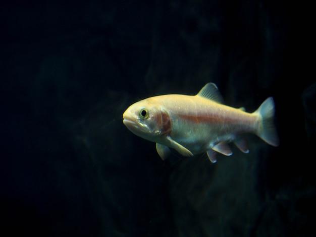 Vissen bewoners van de zee diepten in de zee, prachtige vissen, zee duiken. Premium Foto