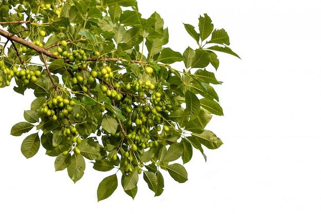 Vitex-glabrataboom of rotte eiboom (thaise naam) de eetbare vrucht van een boom van het geslacht vitex op wit wordt geïsoleerd Premium Foto