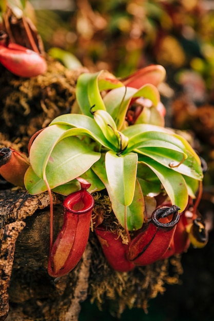 Vleesetende tropische waterkruik plant nepenthes Gratis Foto