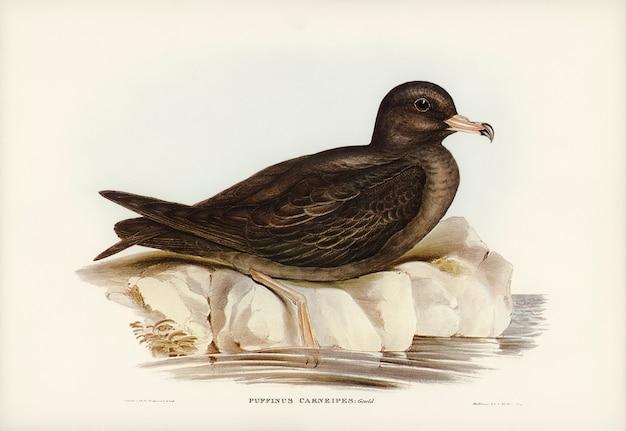 Vlezige rennende stormvogel (puffinus carneipes) geïllustreerd door elizabeth gould Gratis Foto