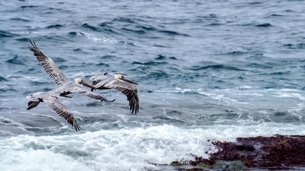 Vliegende pelikanen en oceaan op de achtergrond Gratis Foto