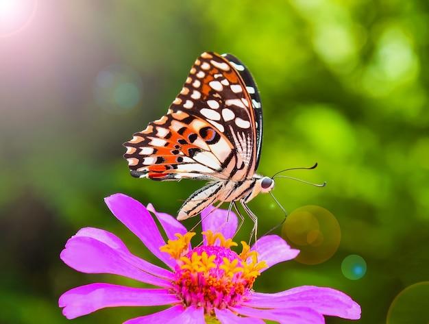 Vlinder aan roze zinnia Premium Foto