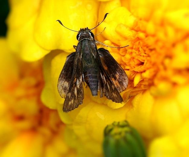Vlinder hesperiidae insect schipper Gratis Foto