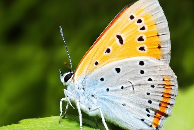 Vlinder in de natuur, close-up macro Premium Foto