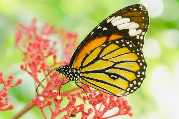 Vlinder zuigende nectar op een rode bloem Premium Foto