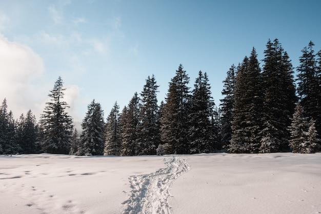 Voetstappen op sneeuw die leiden naar het sparrenbos in de winter Gratis Foto