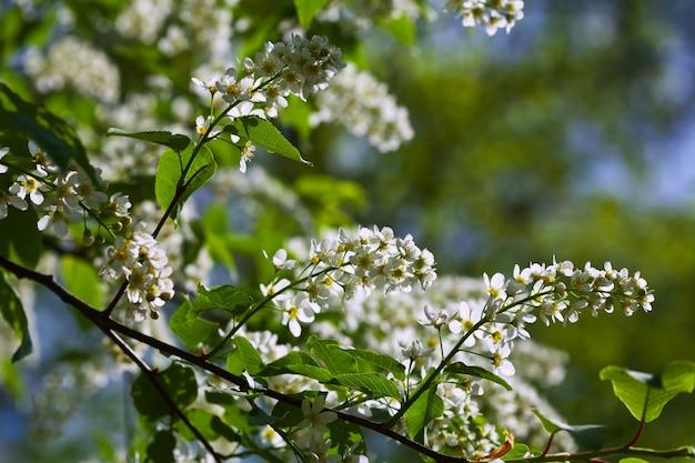 Vogelkersboom in volledige bloei Gratis Foto