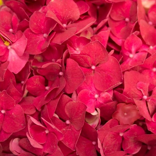 Volledig kader van rode hydrangea hortensiamacrophylla bloemen Gratis Foto