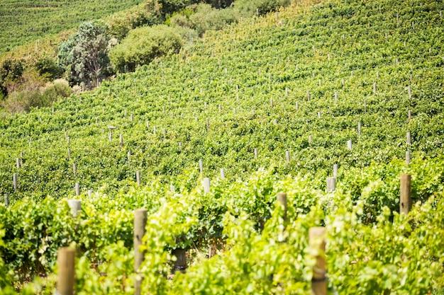 Volledig kaderschot van groene wijngaard Premium Foto