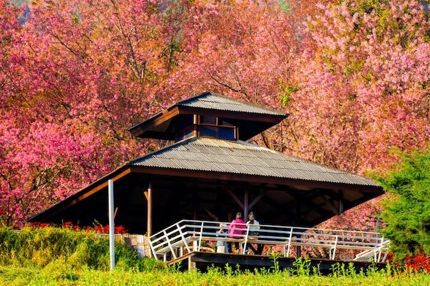 Volledig roze kersenbloesem op de lente in de ochtend in het noorden van thailand, plaatsnaam khun wang gelegen in chiang mai Premium Foto