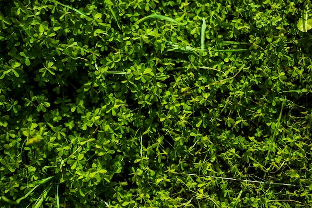 Volledige frame van groene bermuda buttercup verlaat Gratis Foto