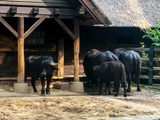 Volwassen en sterke buffel. krachtig en groot dier Premium Foto