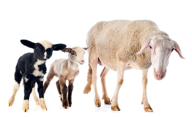 Volwassen ooien en lammeren Premium Foto