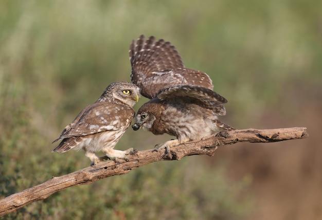 Volwassen vogels en steenuilkuikens (athene noctua) worden van dichtbij gefotografeerd op een onscherpe achtergrond. Premium Foto