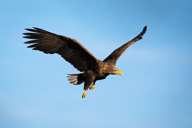 Volwassen wit-de steel verwijderde van adelaar die met blauwe hemel vliegt Premium Foto