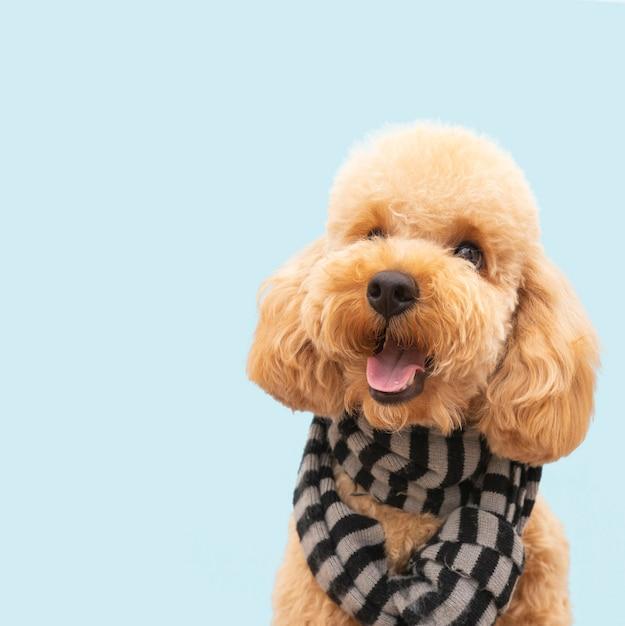 Vooraanzicht binnenlandse schattige hond met sjaal Premium Foto