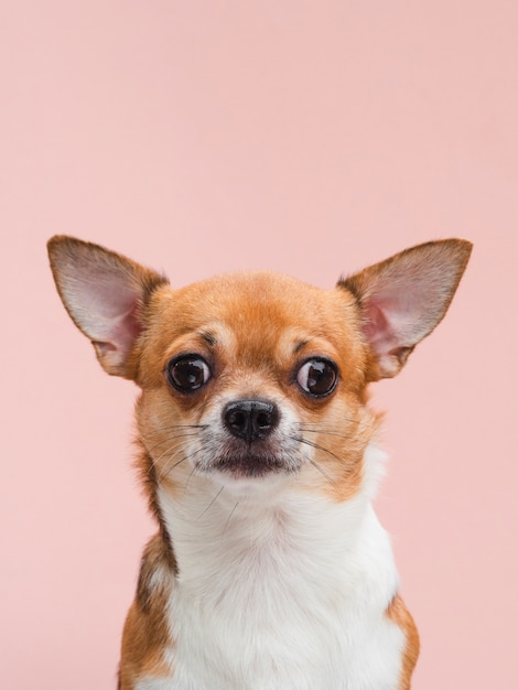 Vooraanzicht schattige chihuahua puppy met gealarmeerde oren Gratis Foto