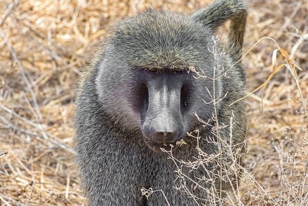 Vooraanzicht van een afrikaanse aap in het veld Gratis Foto