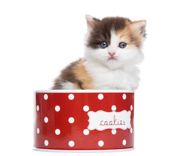 Vooraanzicht van een rechte katje van het hoogland in een koekjedoos die op wit wordt geïsoleerd Premium Foto
