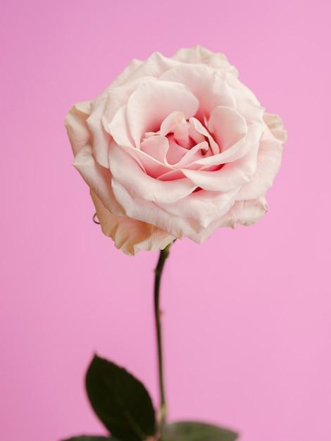Vooraanzicht van verse delicate roos Gratis Foto