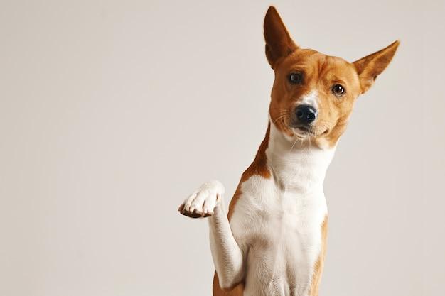 Vriendelijke slimme basenji-hond die zijn poot dicht omhoog geïsoleerd op wit geeft Gratis Foto
