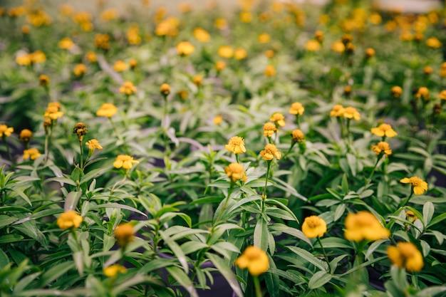Vrij gele bloemen op een bloeiende tijminstallatie Gratis Foto