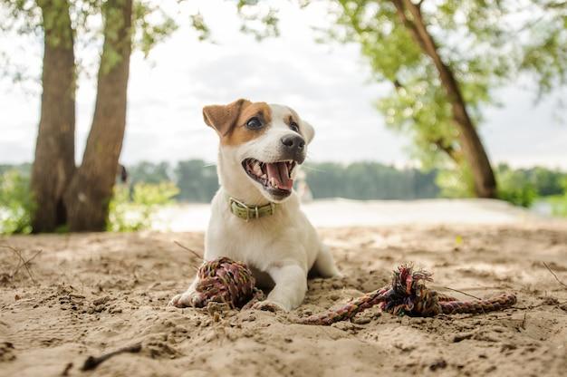 Vrolijke en schattige jack russell terrier pup spelen met een touw op het  strand   Premium Foto