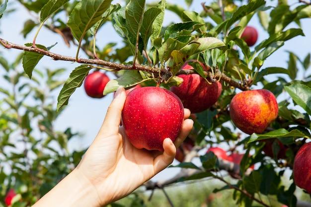 Vrouw die een appel met de hand plukken Premium Foto