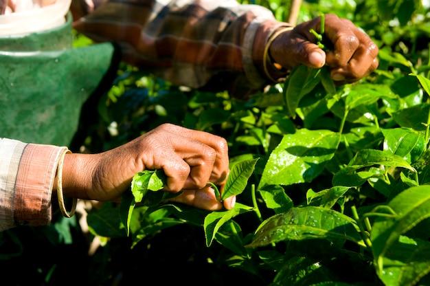 Vrouw die theebladen kerela, india oogsten. Gratis Foto