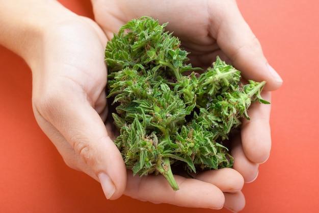 Vrouw houdt cannabis toppen in handen op oranje achtergrond, concept: marihuana remedie voor kanker Premium Foto