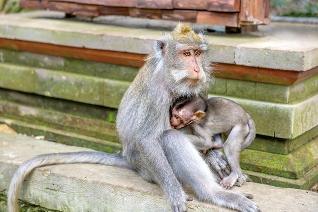 Vrouwelijke balinese apen met lange staart met haar kind in het heiligdom Premium Foto