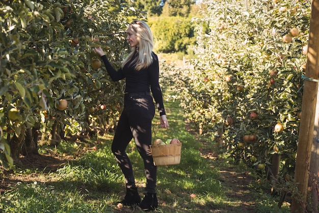 Vrouwelijke boer appels verzamelen Gratis Foto
