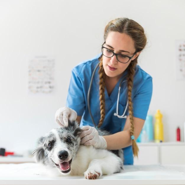 Vrouwelijke dierenarts die het oor van de hond onderzoekt liggend op lijst Premium Foto