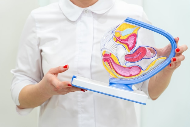 Vrouwelijke gynaecolooghanden die anatomisch model voor studie houden Premium Foto