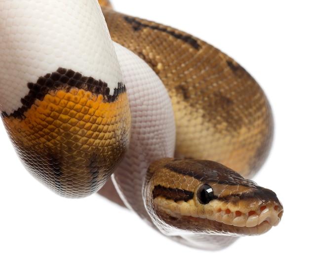 Vrouwelijke krijtstreep bonte koninklijke python, balpython - python regius, krijtstreep Premium Foto