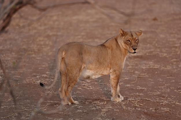 Vrouwelijke leeuw die zich op de zanderige grond bevindt en naar de camera staart Gratis Foto