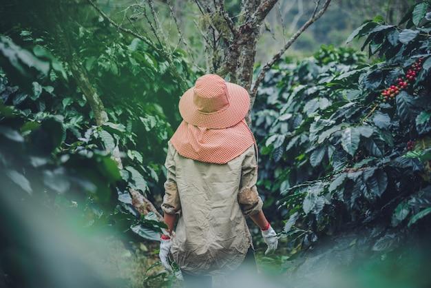Vrouwelijke werknemers die in een landbouw van de koffieaanplanting werken, koffietuin. Premium Foto