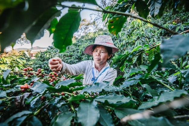Vrouwen uit thailand die rood koffiezaad op koffieaanplanting plukken in doi chang, chiang rai, thailand. Premium Foto