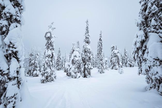 Vuren bomen vallende sneeuw in het riisitunturi national park, finland Gratis Foto