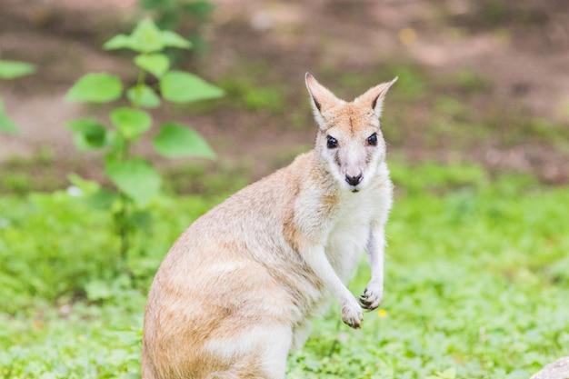 Wallaby, een australasian buideldier dat lijkt op, maar kleiner is dan, een kangoeroe. Premium Foto