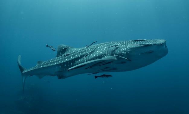 Walvishaai in het blauw Premium Foto