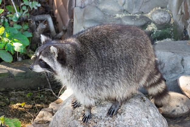 Wasbeer op steen Premium Foto