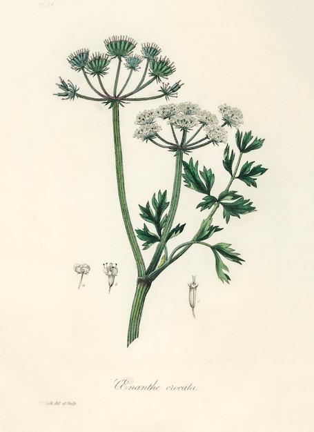 Waterdropkruid (onanthe grocata) illustratie uit medical botany (1836) Gratis Foto