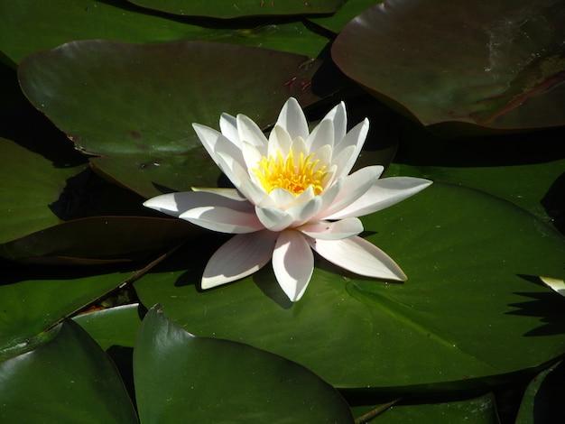 Waterlelie plant en bloem drijvend op het water Gratis Foto