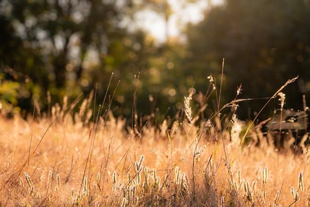 Wazig zachte beelden van grasbloemen die 's ochtends zonlicht weerkaatste. Premium Foto